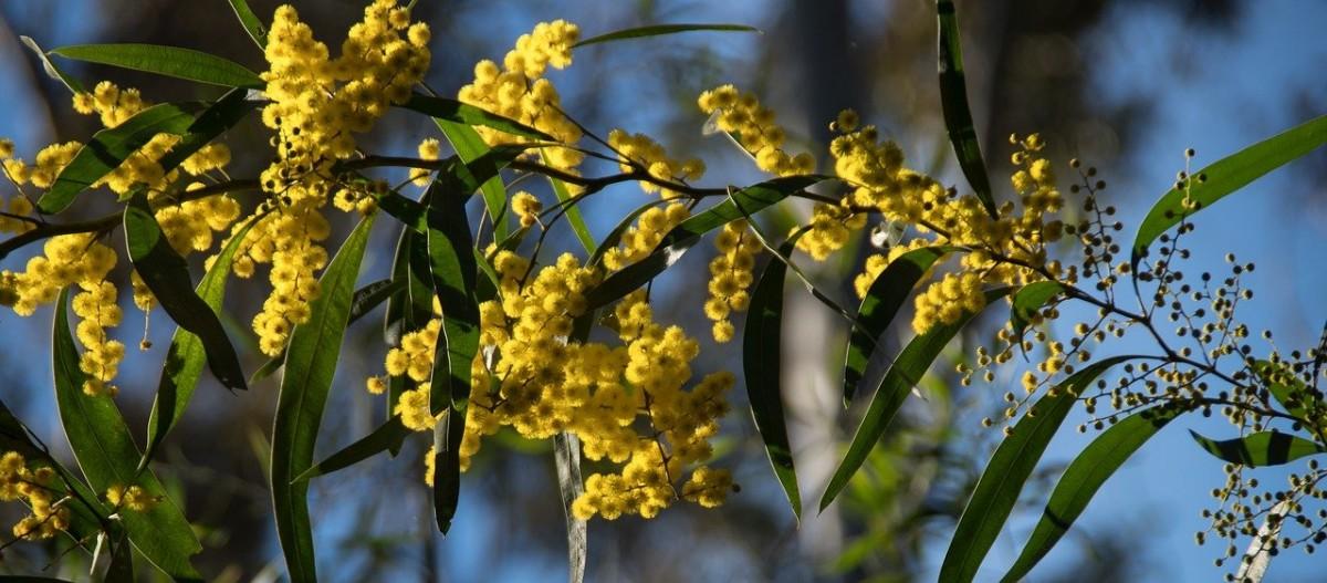 acacia, wattle, flowers-4383485.jpg